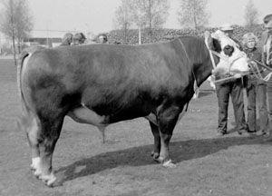 Ebel van Fritema was een fraaie stier met beste benen.