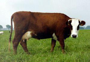 Patricia 9, als jonge koe. Levensproductie ruim 62.000 kg melk